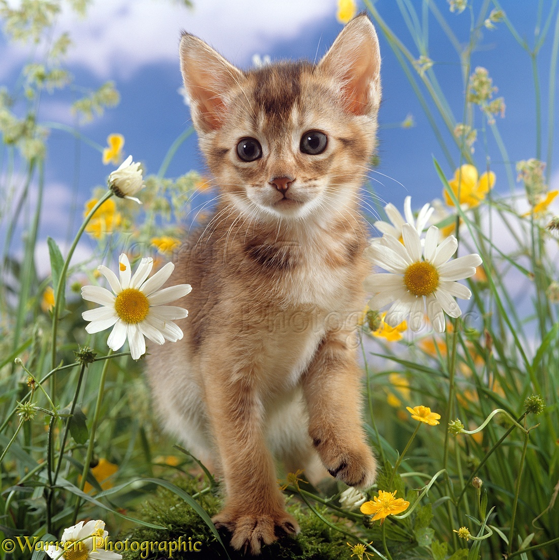 Abyssinian kitten among daisy and buttercup flowers photo wp15887 abyssinian kitten 6 weeks old among ox eye daisies and buttercups izmirmasajfo