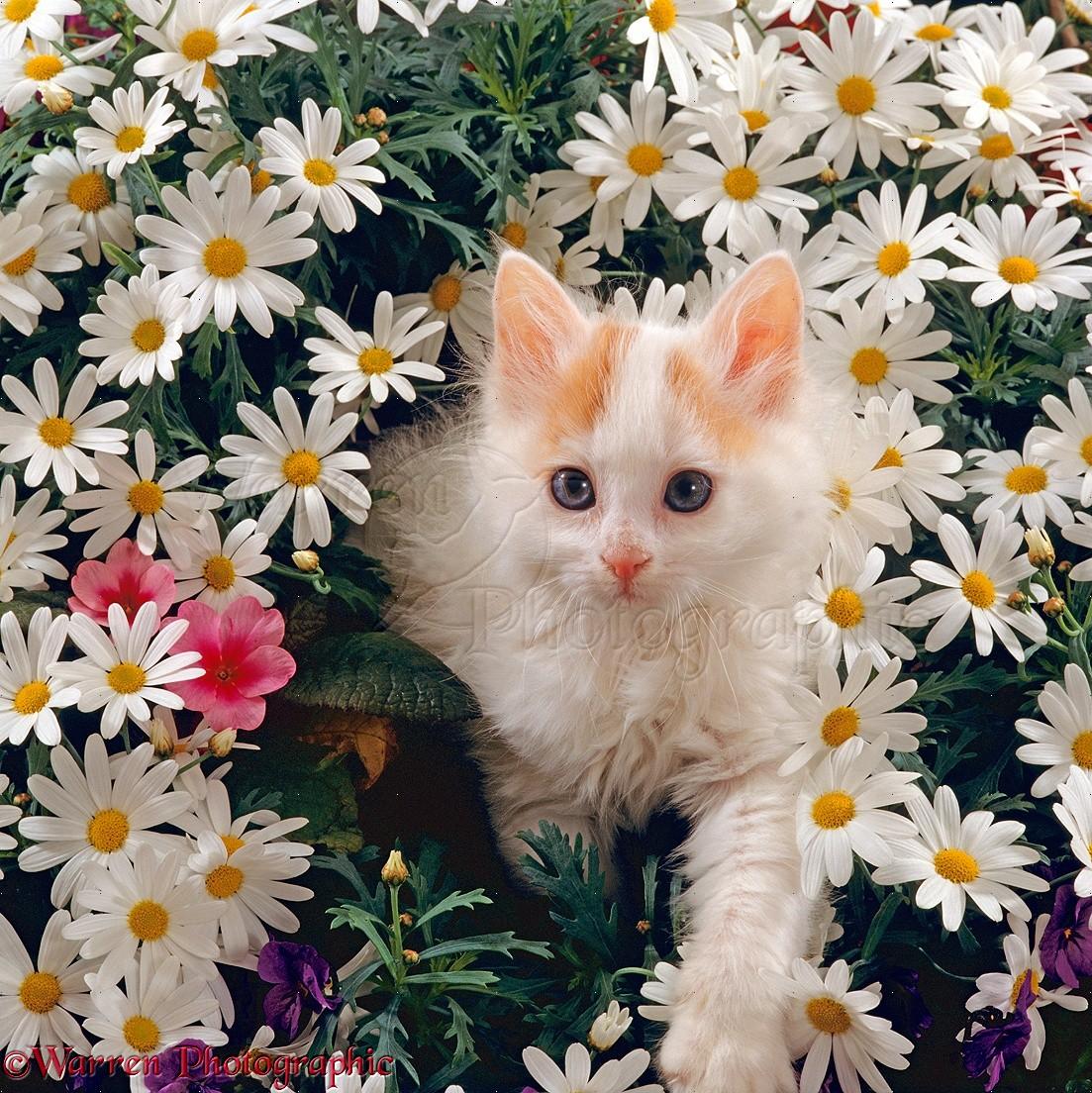 Turkish Van kitten among white daisies with pink primulas