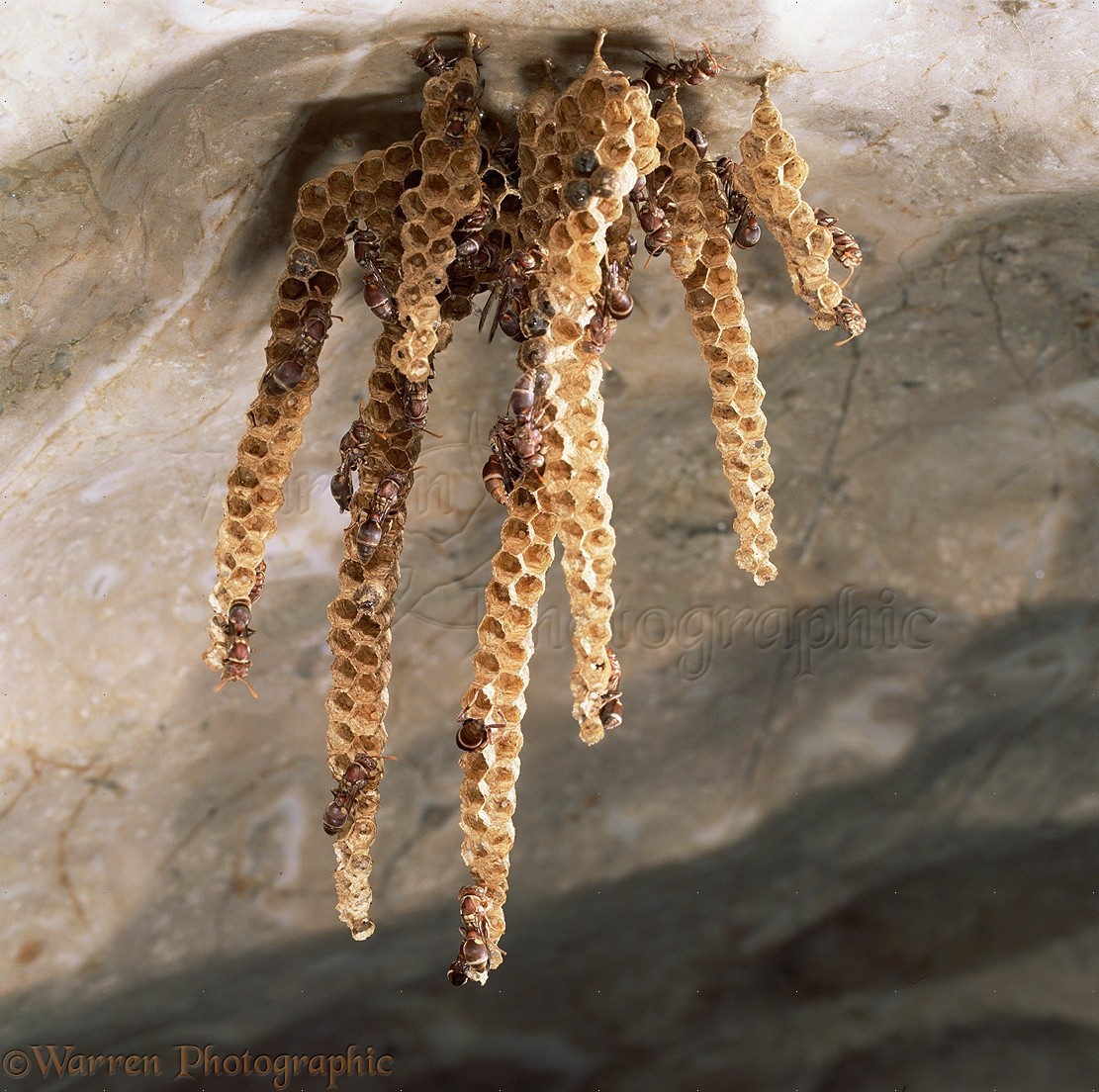 Paper Wasps nest photoWP16057