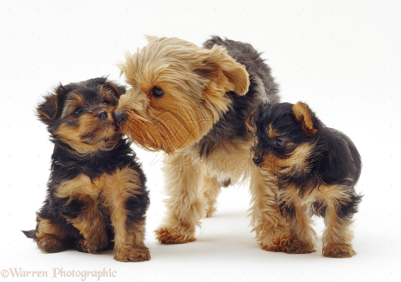 print a google map with 16326 Yorkshire Terrier With Pups on Contact Us further Hlak Kar Thangan Khxng Khxmphiwtexr additionally Islam Maps also 16326 Yorkshire Terrier With Pups further Patagonia.
