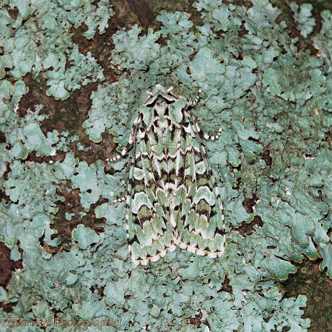 merveille du jour moth camouflaged on lichen photo wp16415. Black Bedroom Furniture Sets. Home Design Ideas