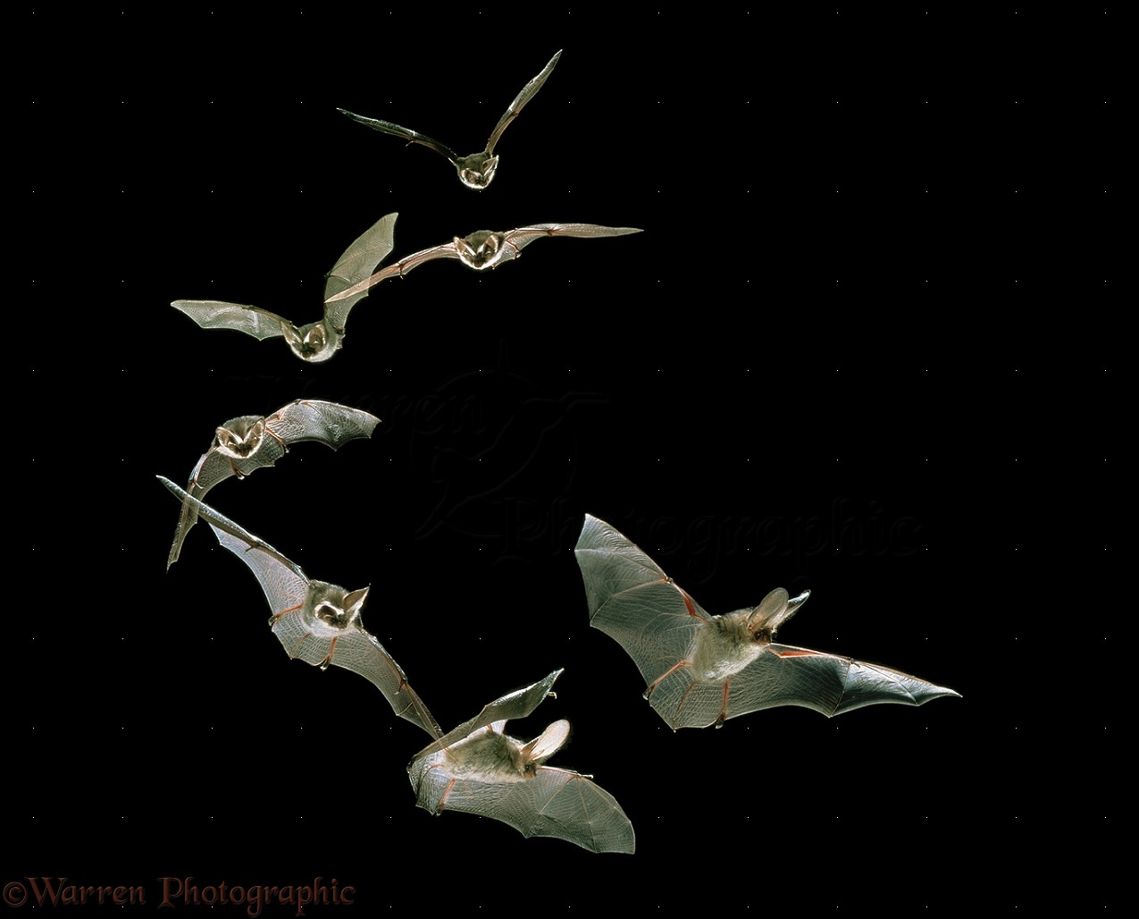 sequence map with 16465 Long Eared Bat Flight Sequence on 143451 besides Watch additionally Avatar World Map Blank Template 337265660 as well Lsr4 site photos as well 37344.