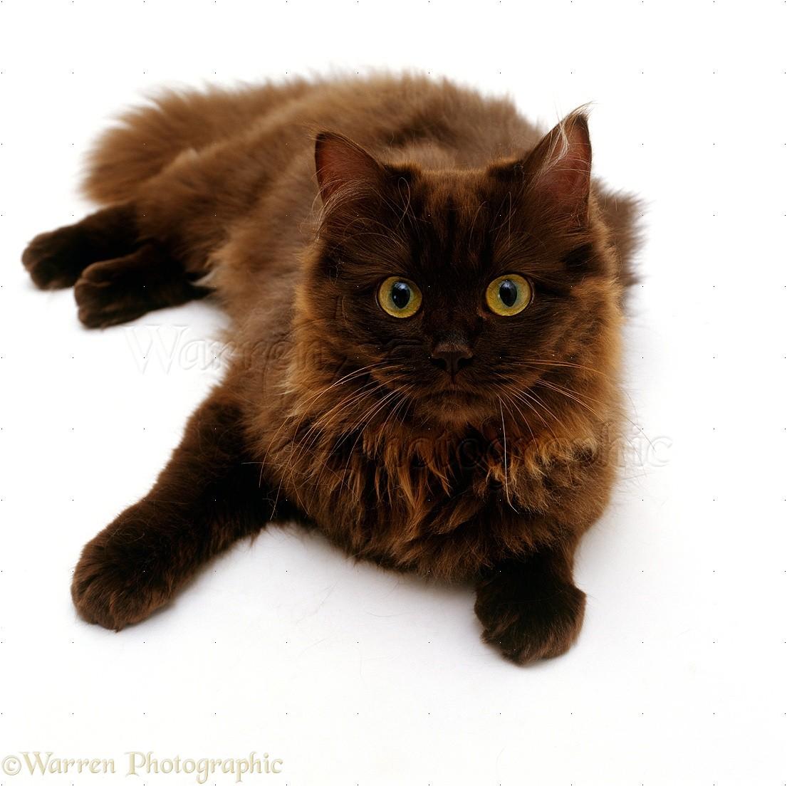Chocolate Persian cross female cat photo - WP16616