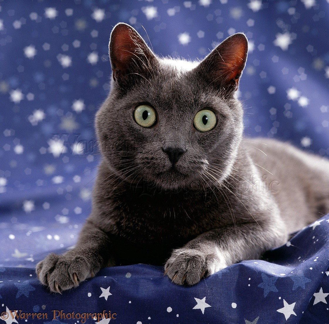 Grey cat on starry material .