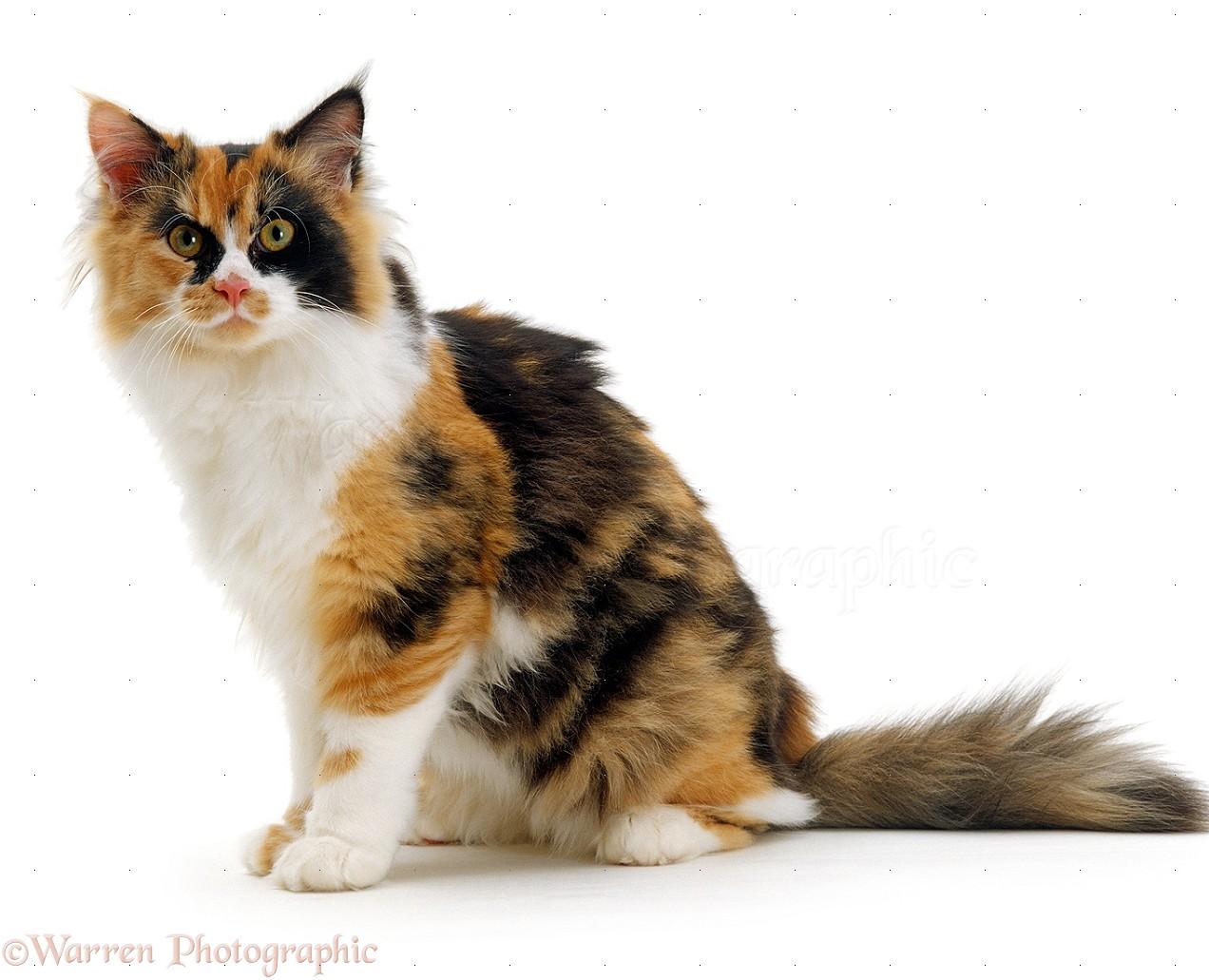 Calico Female Cat Photo Wp16655