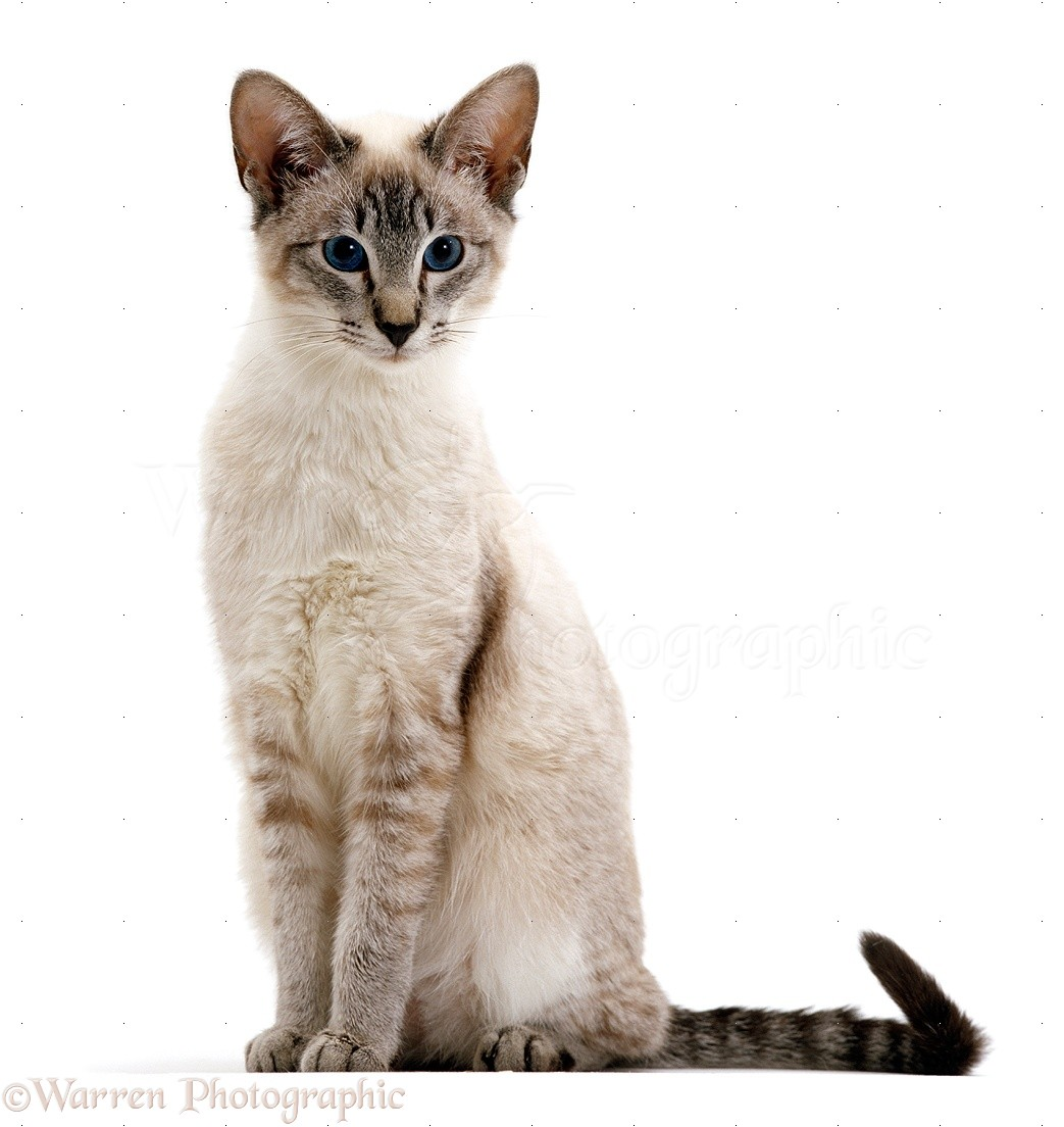 Tabby Point Siamese Cats Uk