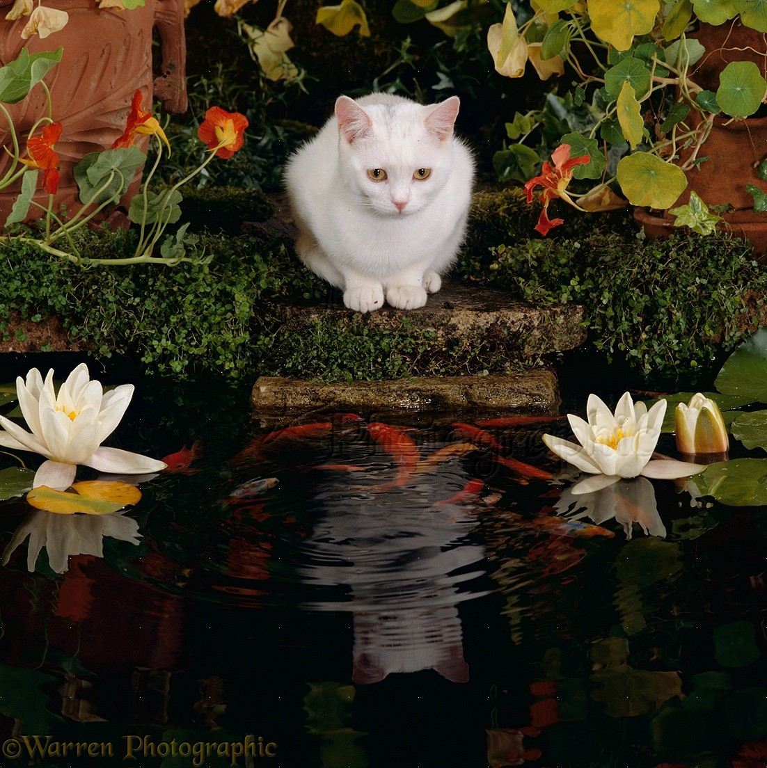 White Cat Watching Goldfish In Garden Pond Photo WP16705