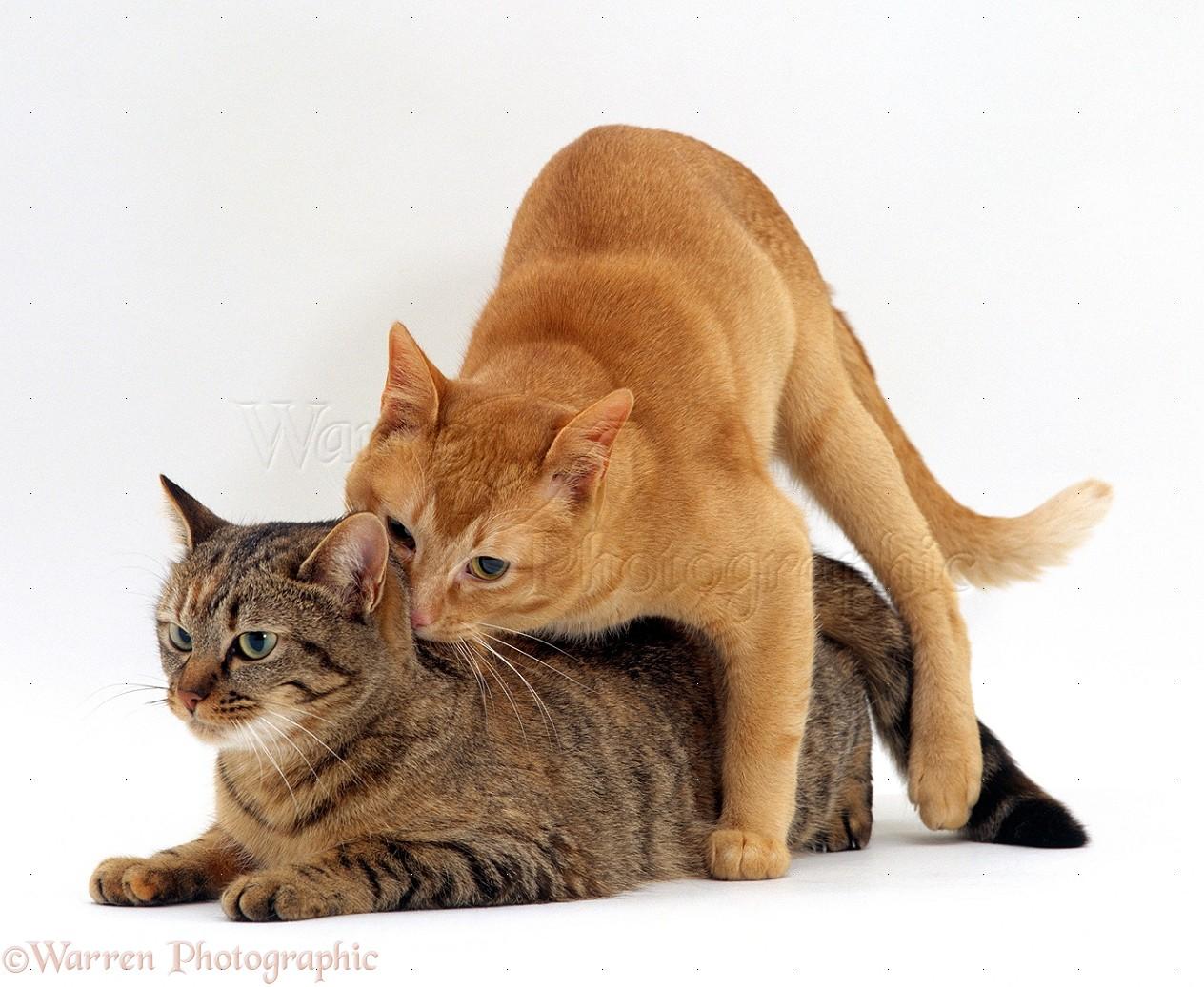 Dog Mating Cat Heat