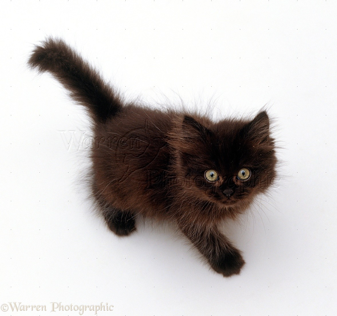 Chocolate Fluffy Kitten Looking Up Viewed From Above