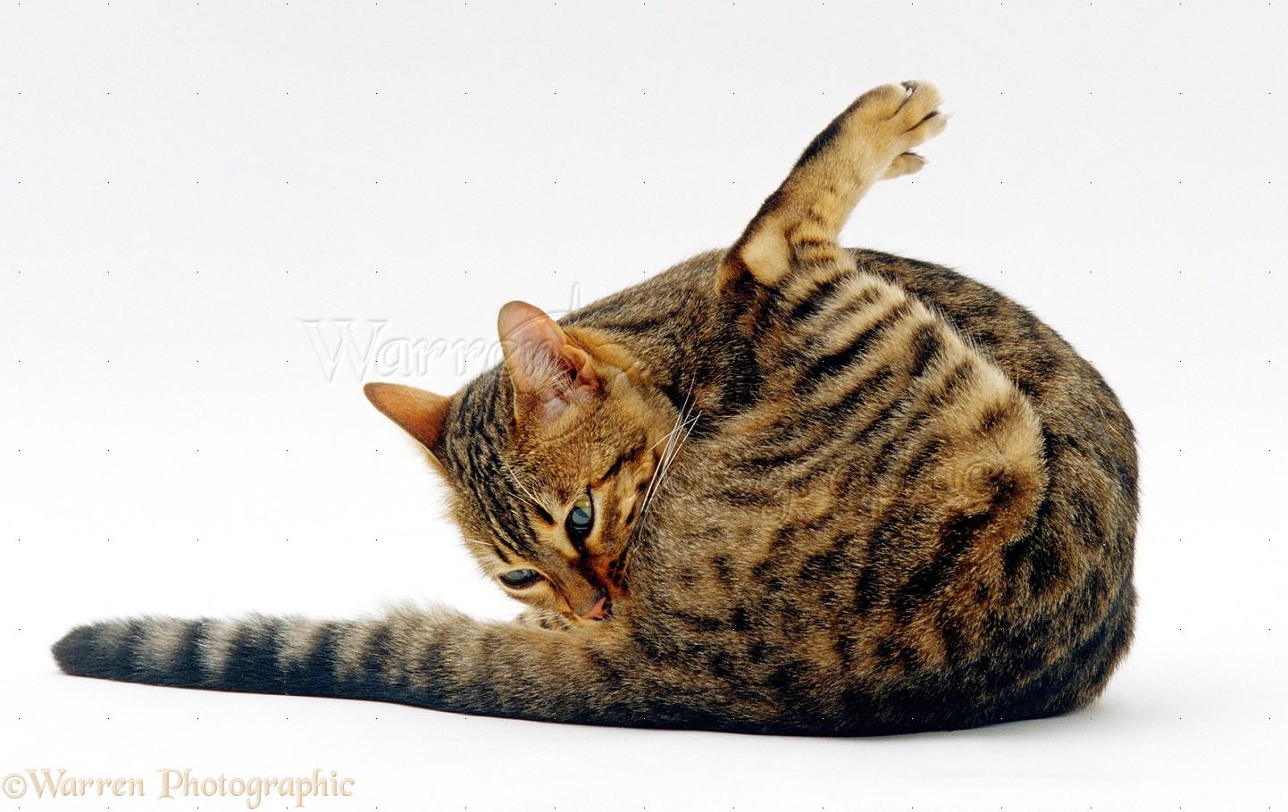 Female cat odor lick