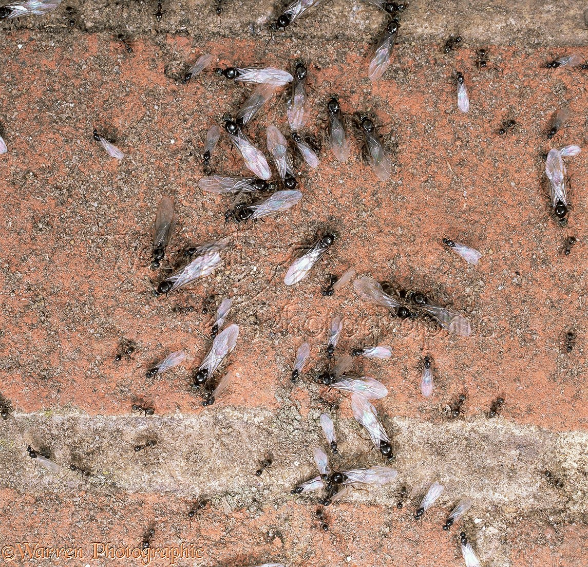 Garden Black Ant winged males and females photo WP16807
