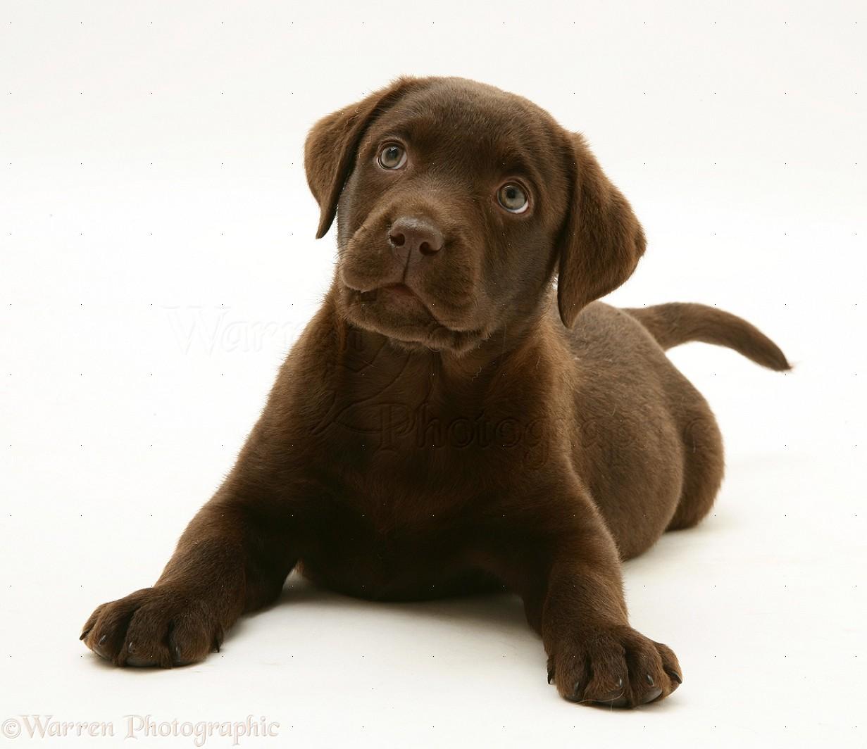 Dog: Chocolate Labrador Retriever pup photo WP16819