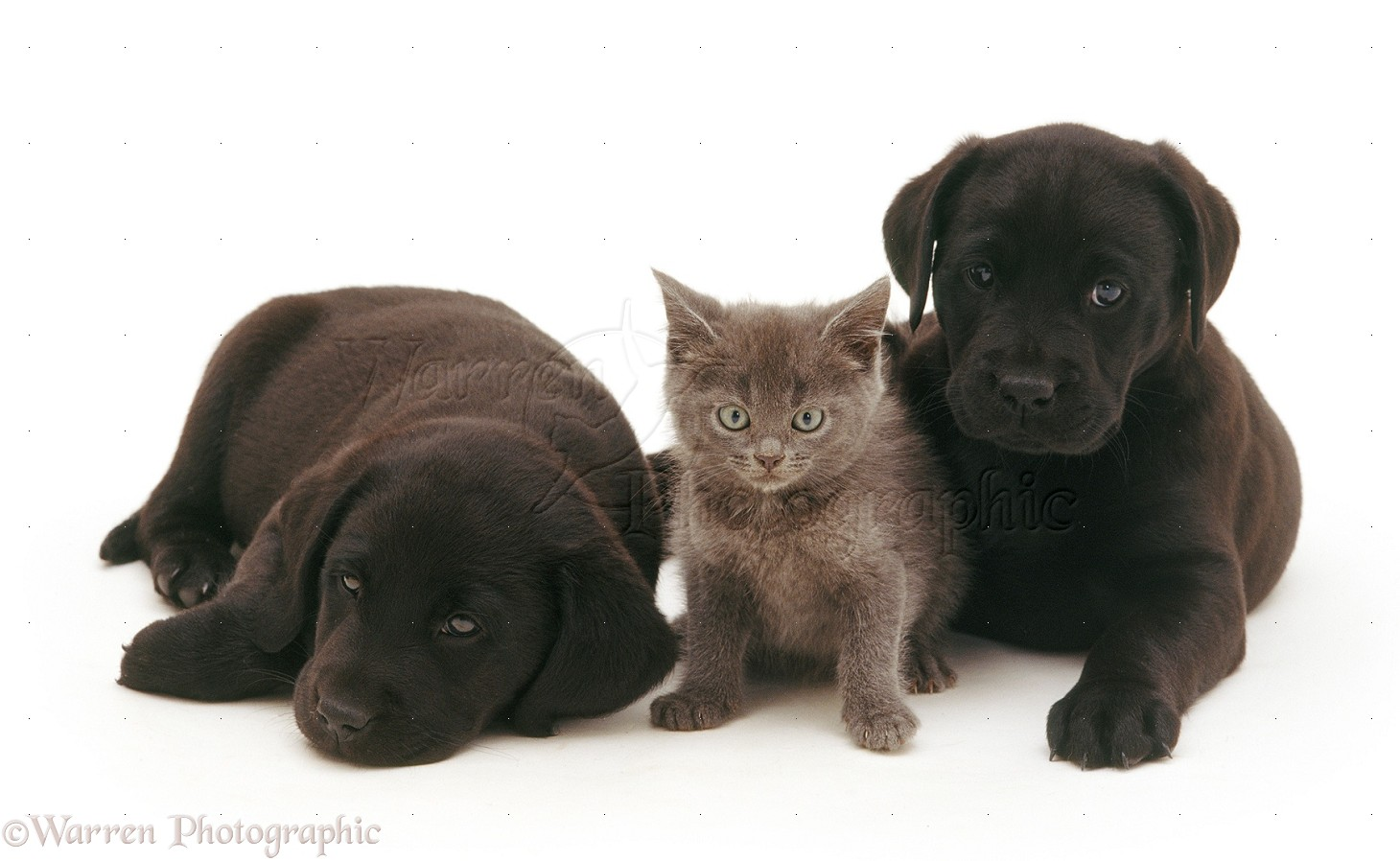Pets Black Labrador Pups With Grey Kitten Photo Wp16843