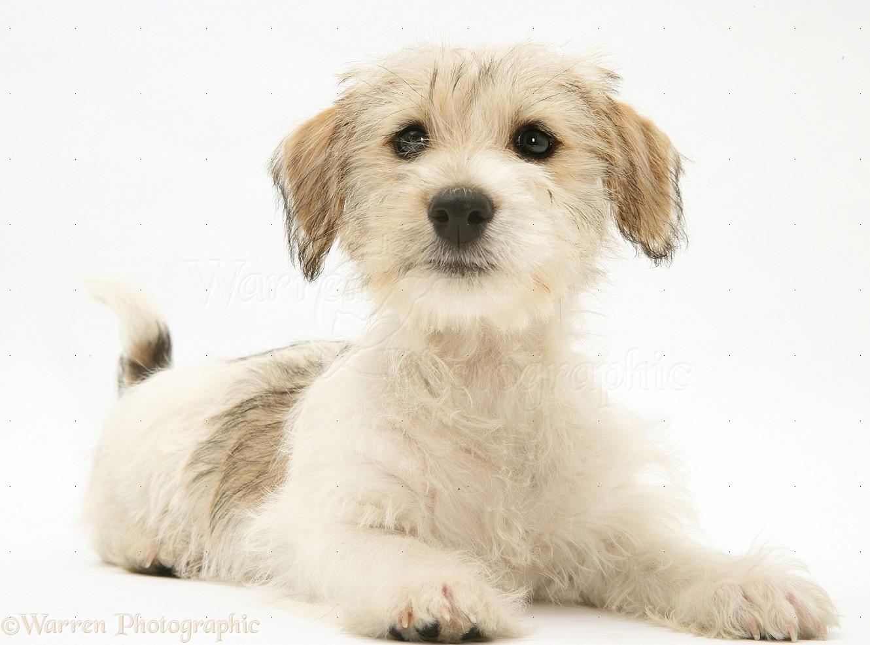 Dog: Mongrel puppy photo - WP16919 Дворняжка Щенок