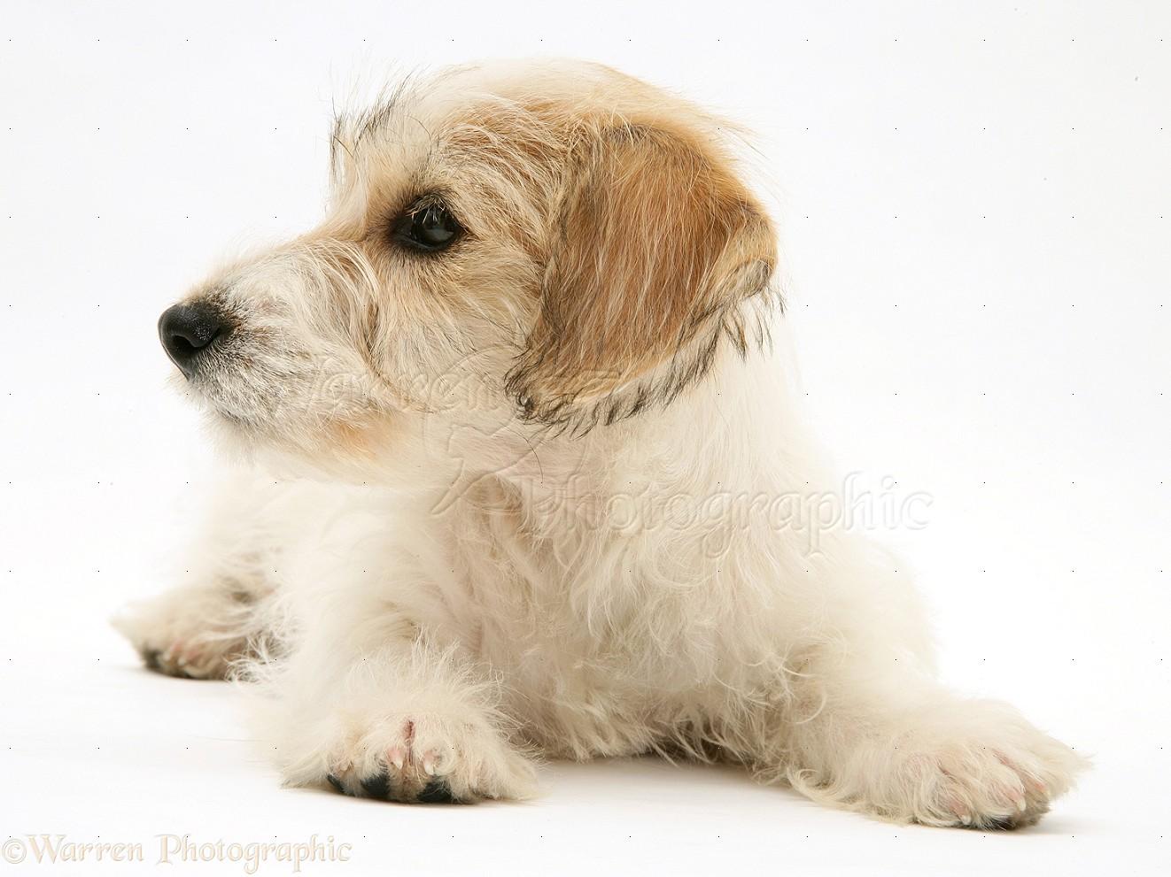 Dog: Mongrel puppy photo WP16921 Дворняжка Щенок
