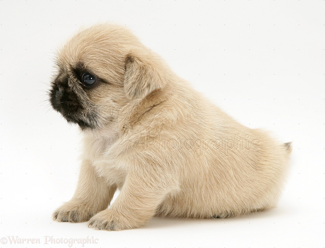 Dog Pugzu Pug X Shih Tzu Pup Photo Wp16935