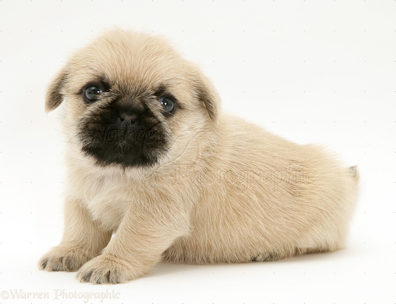 lovely shih tzu cross pug puppies pictures to pin on pinterest