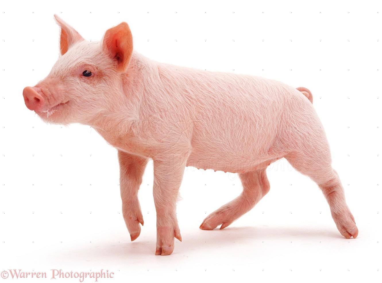 свиной пятачок: