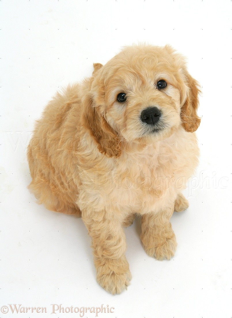 Dog Miniature Goldendoodle Pup 7 Weeks Old Photo Wp17011