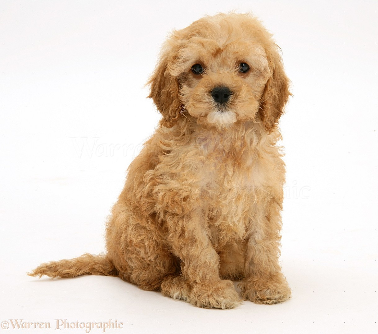 Dog American Cockapoo Puppy 8 Weeks Old Photo Wp17016
