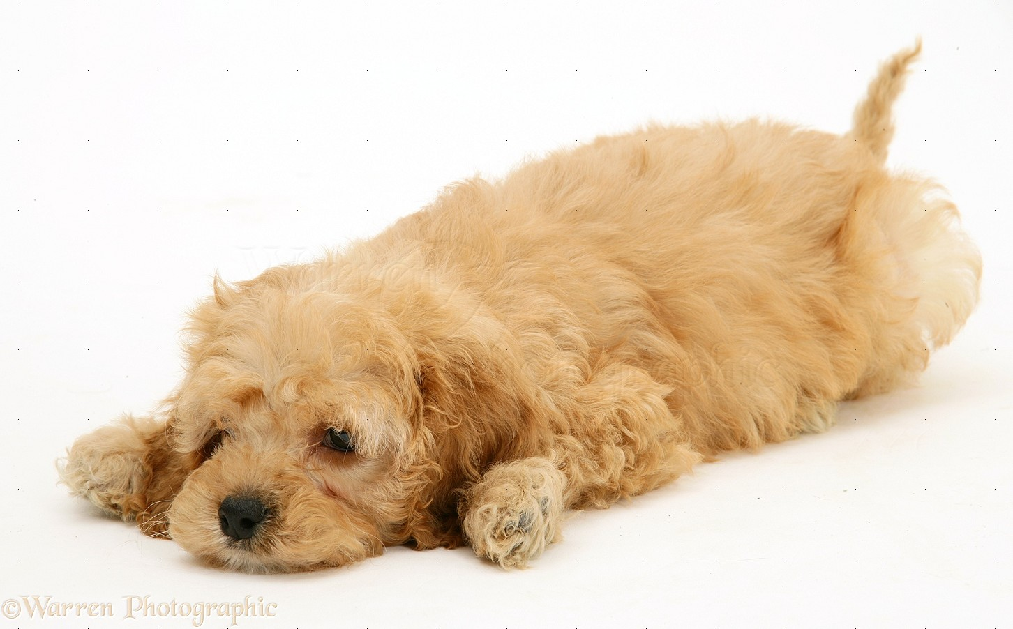 Dog American Cockapoo Puppy 8 Weeks Old Photo Wp17022