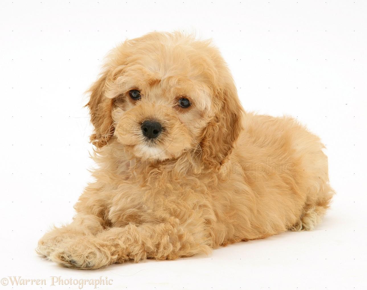 Dog American Cockapoo Puppy 8 Weeks Old Photo Wp17023