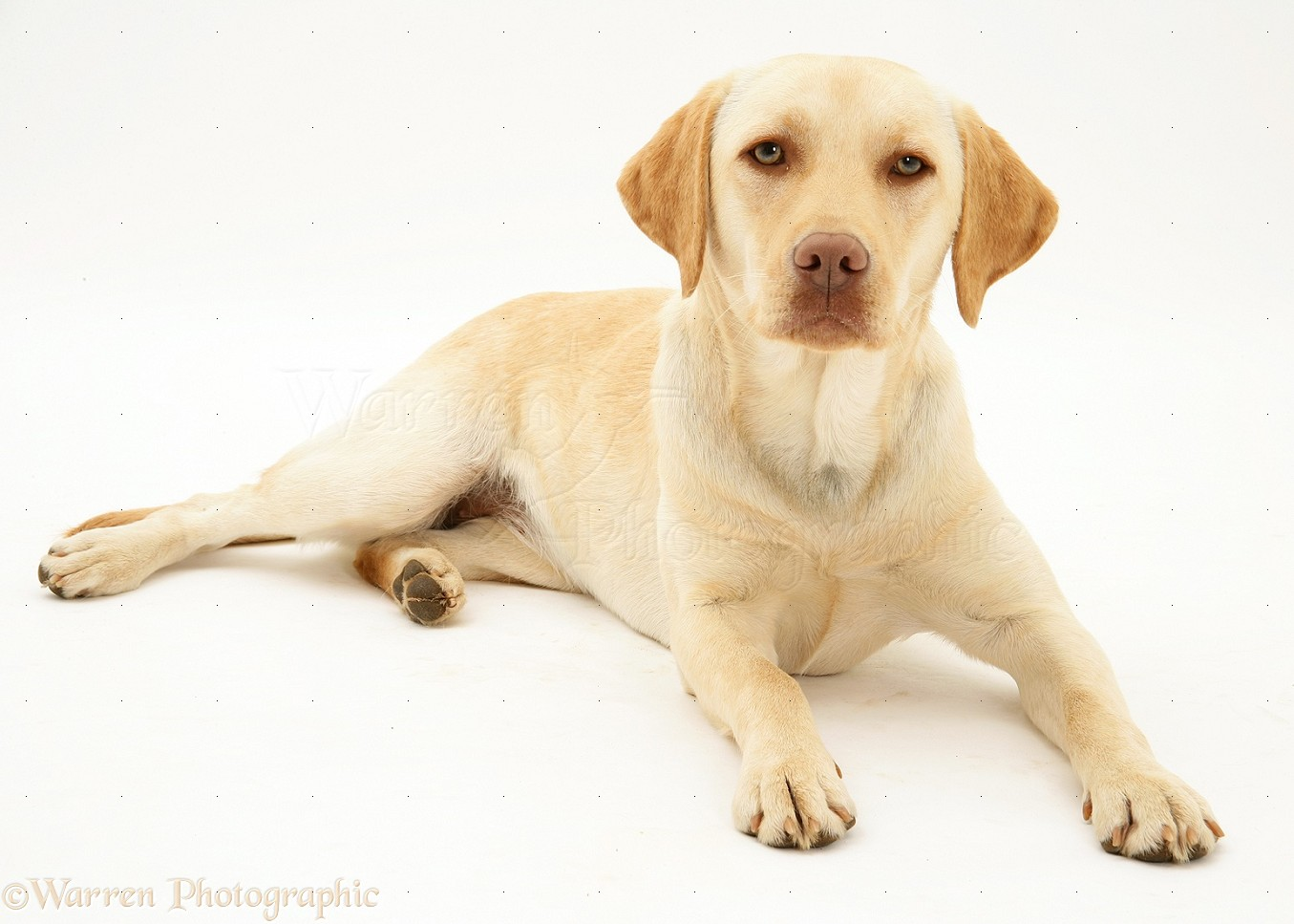 WP17071 Yellow Labrador Retriever Millie   1 year old White And Yellow Labrador Retriever