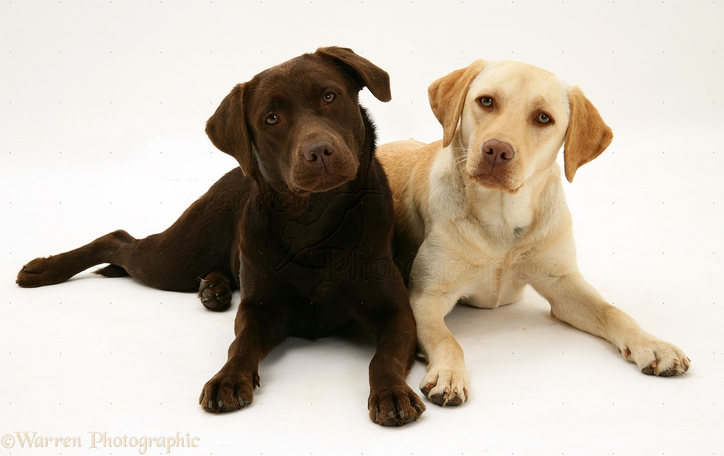 At The Yellow Labrador Retriever ImgWhite And Yellow Labrador Retriever