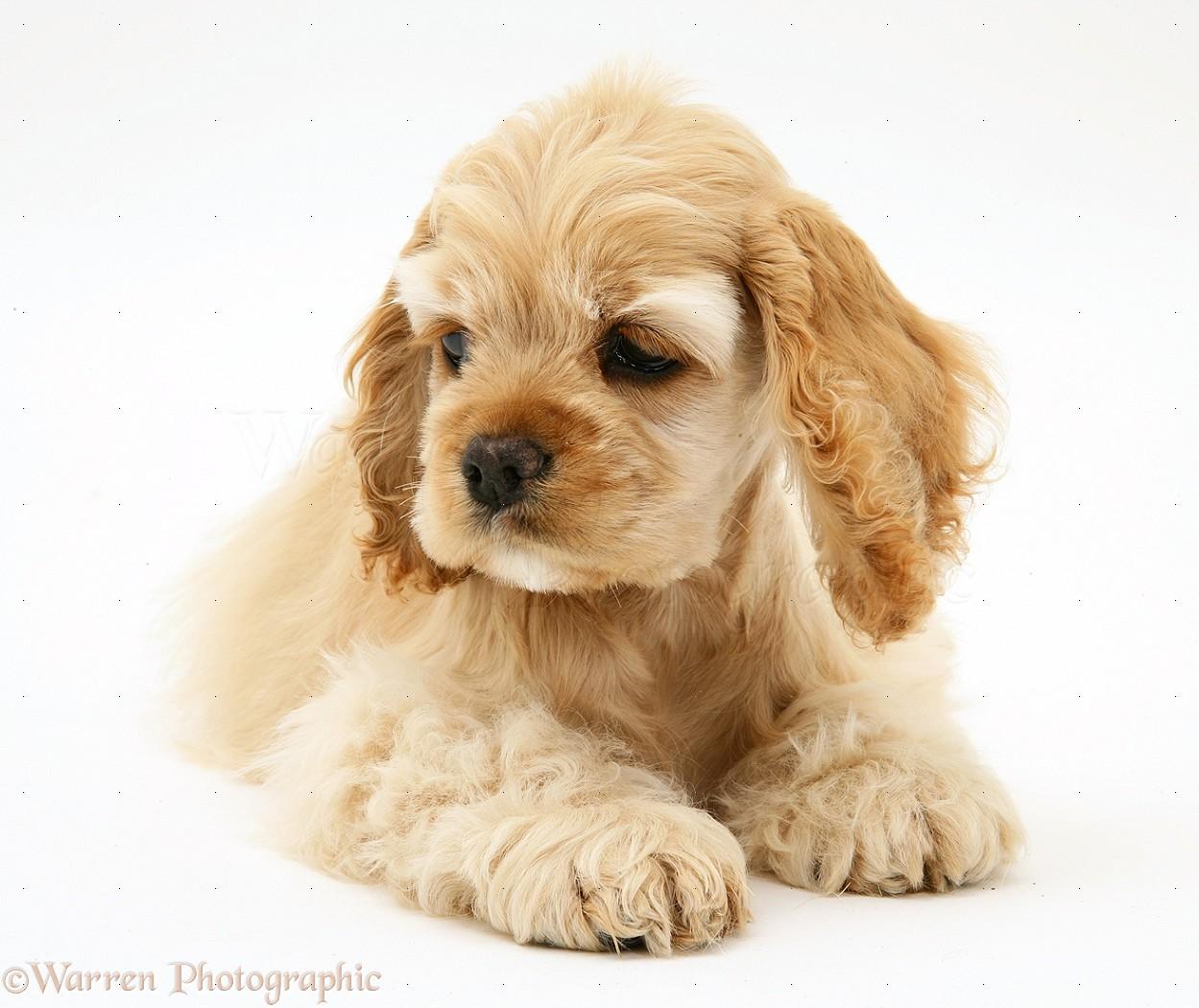 dog buff american cocker spaniel pup photo wp17128
