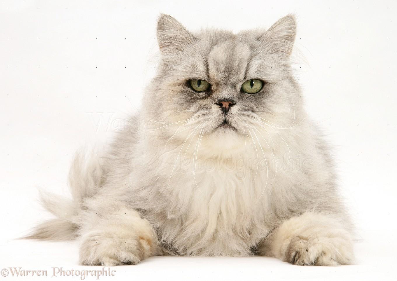 Chinchilla Persian male cat photo - WP17133 Tabby Persian