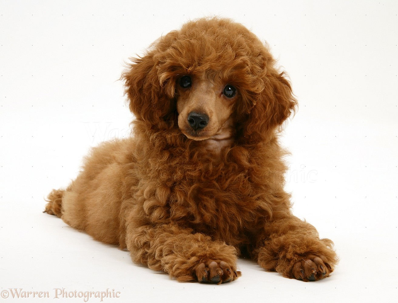 Dog Red Toy Poodle Pup Photo Wp17182
