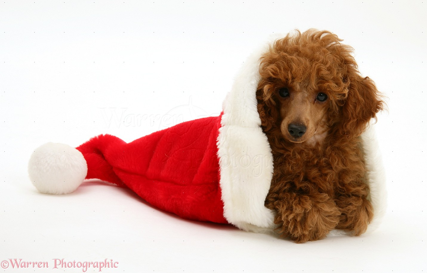 dog red toy poodle pup in a santa hat photo   wp17207