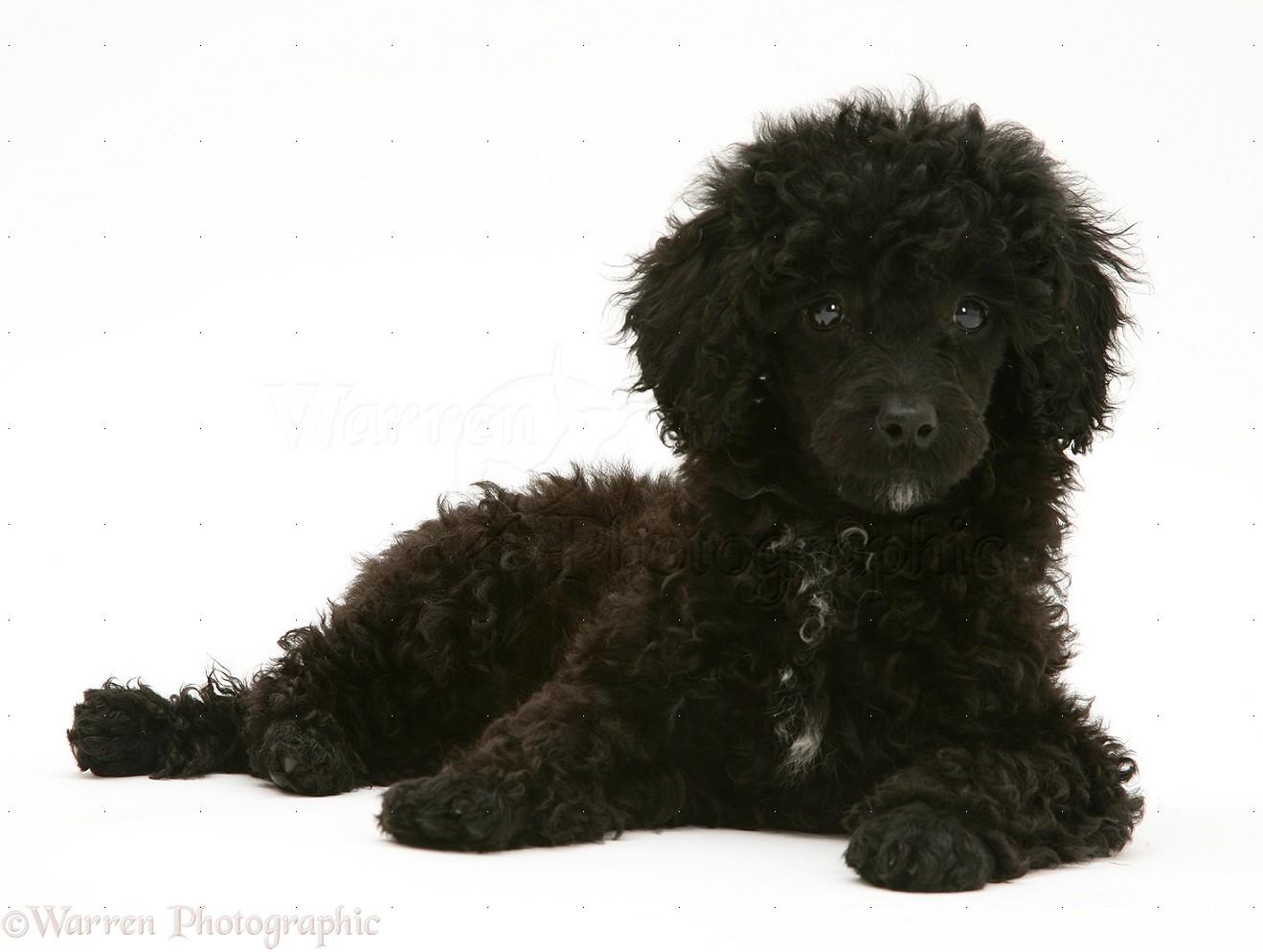 Dog: Black Miniature Poodle lying with head up photo WP17216