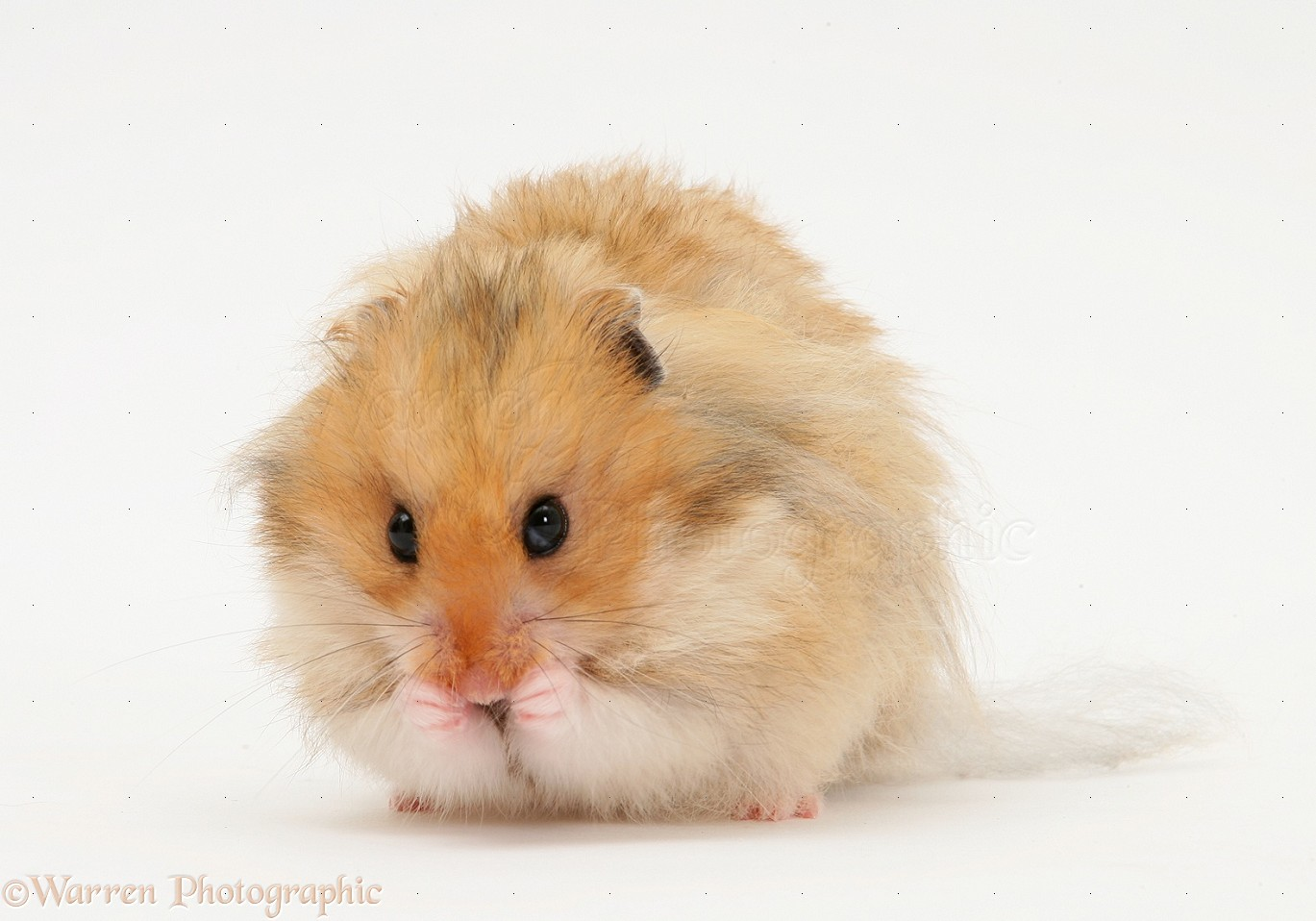 Long-haired Syrian Hamster photo - WP17229