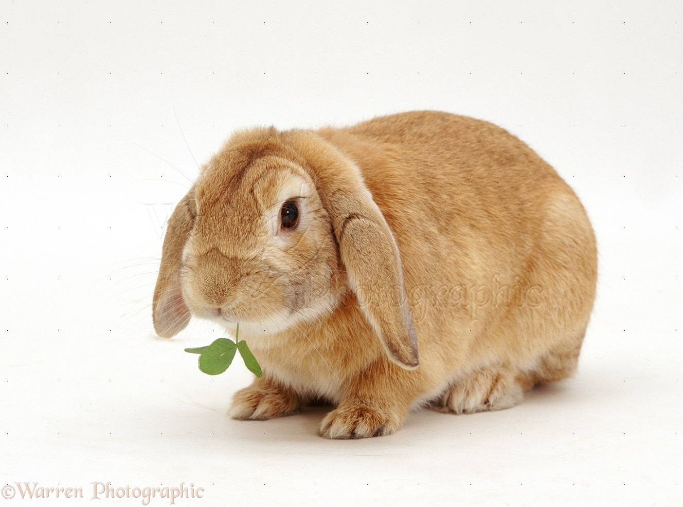 how to tell if a rabbit is male or female