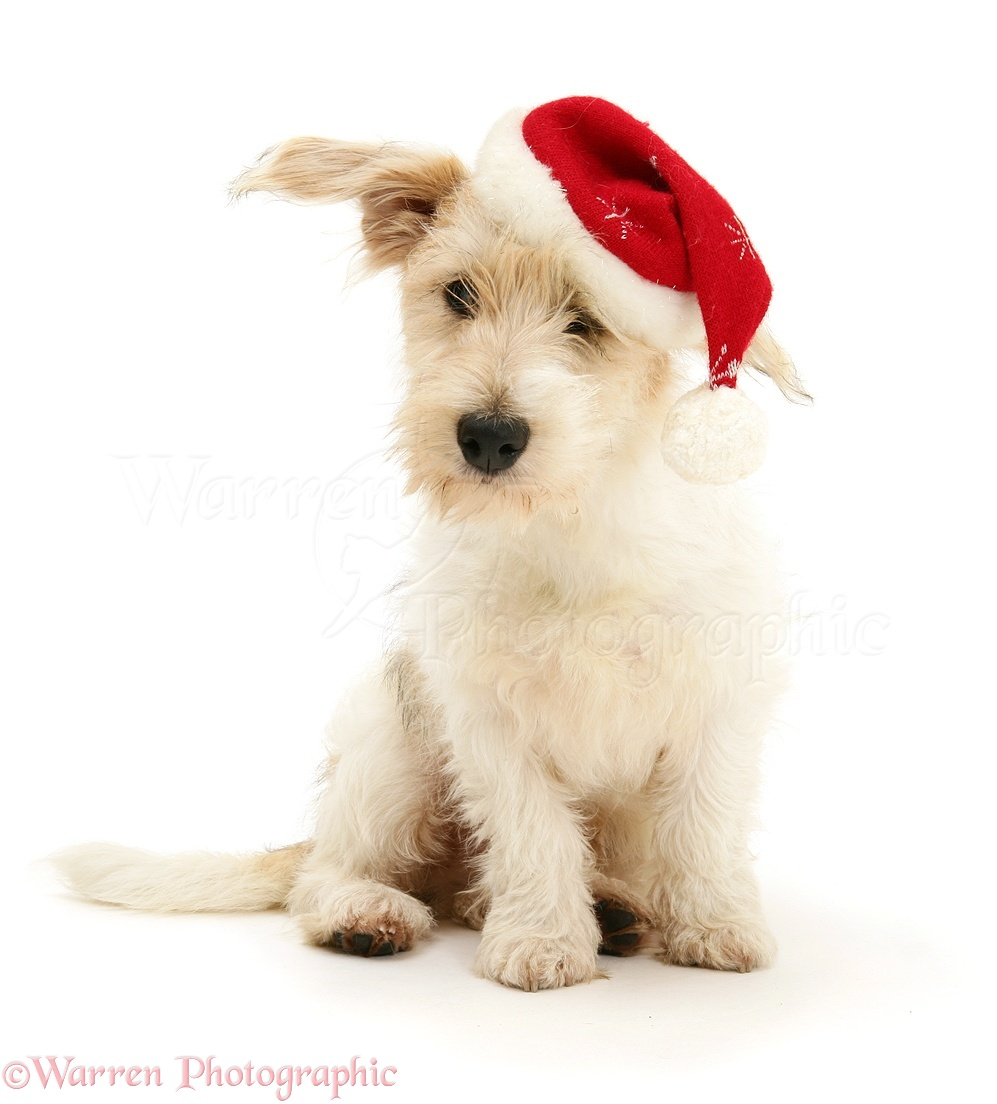 85ee45293077d mongrel dog mutley wearing a father christmas hat white background