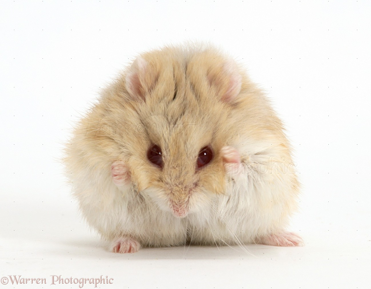 WP17275 Dwarf Russian Hamster ( Phodopus sungorus ) washing its face.