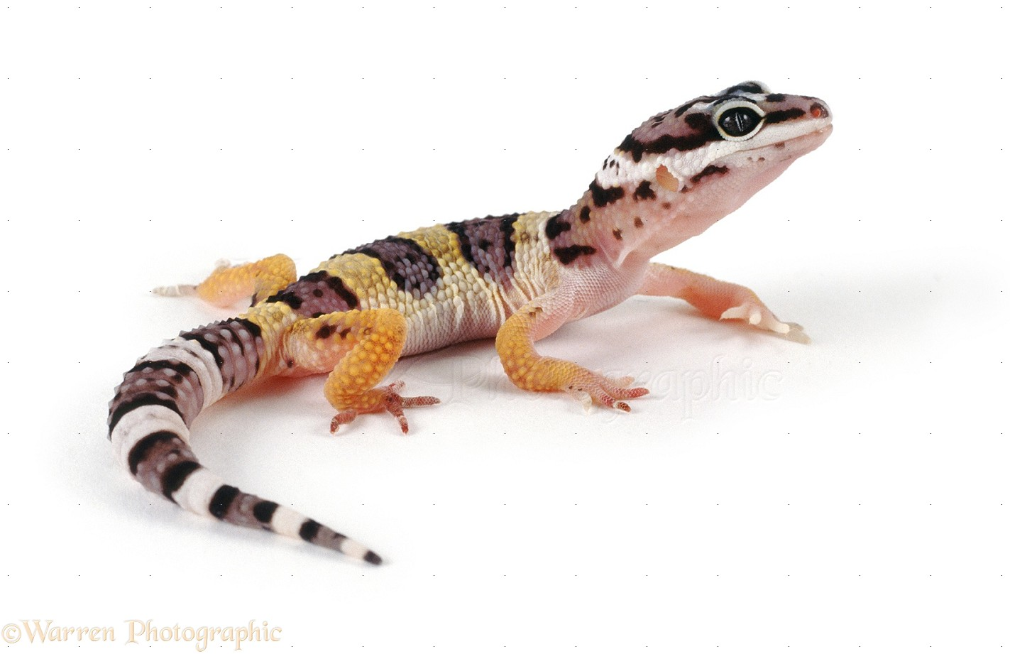 gecko video