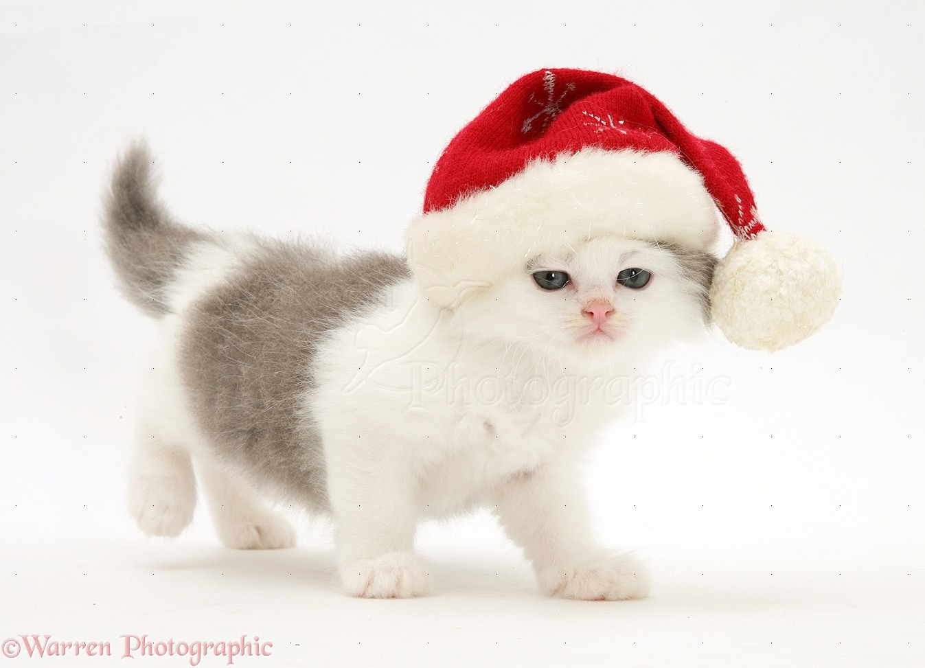 WP17411 Grey-and-white kitten wearing a Father Christmas hat.