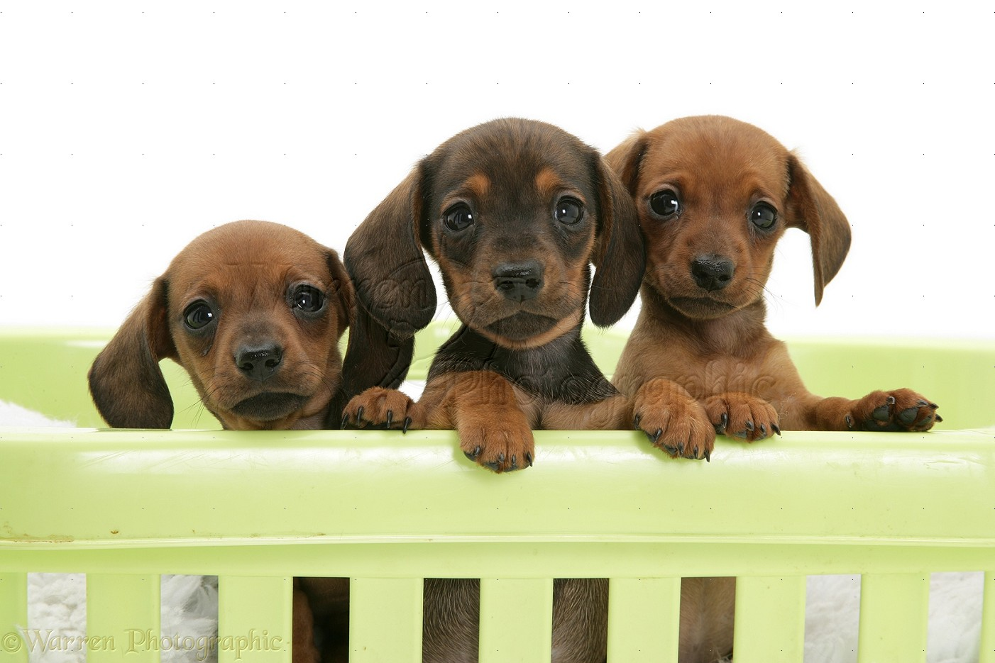 Dogs: Red miniature Dachshund pups, paws over photo - WP17542