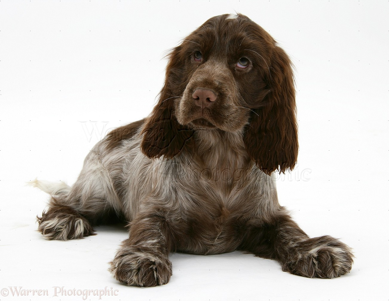 Cocker spaniel brown and white - photo#47