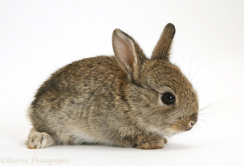 baby european rabbit photo wp17585
