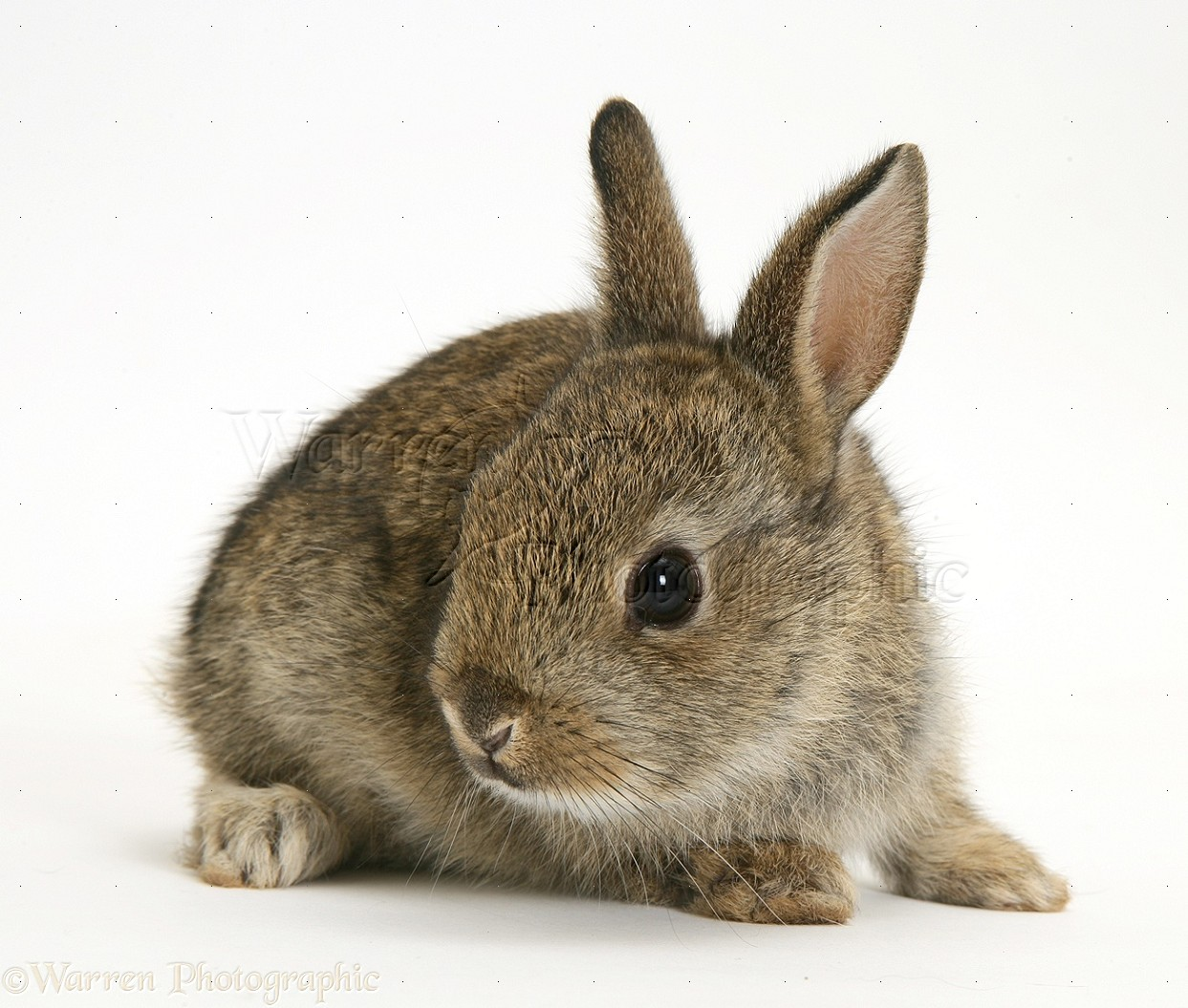 baby european rabbit photo wp17586