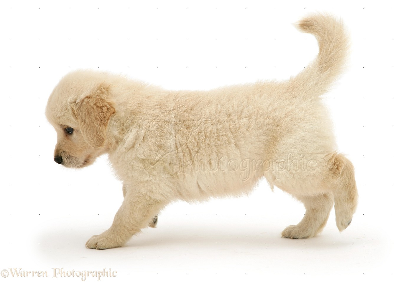 Teddy Bear Puppies and Dogs