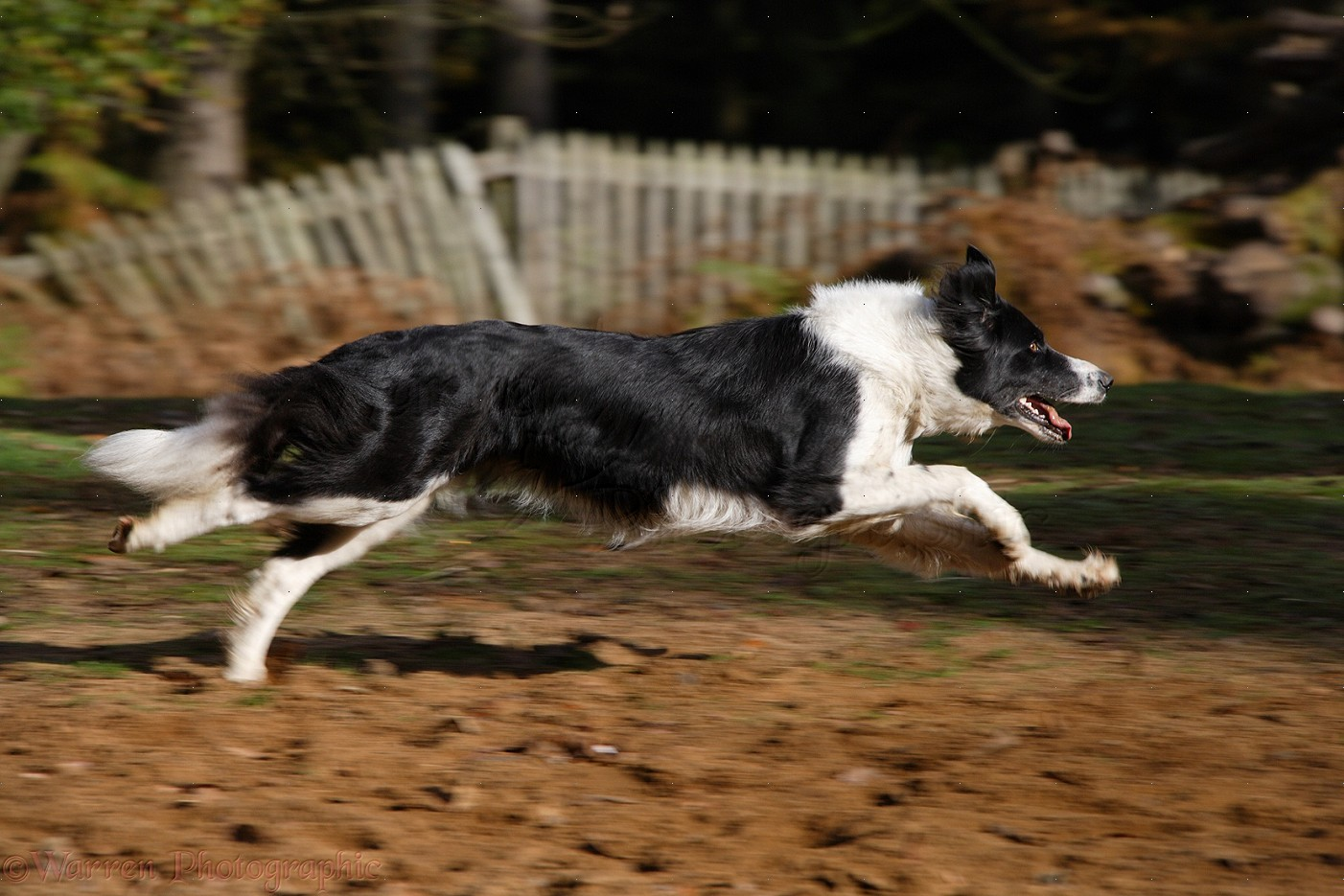 Pictures Of Black And White Collie Dogs