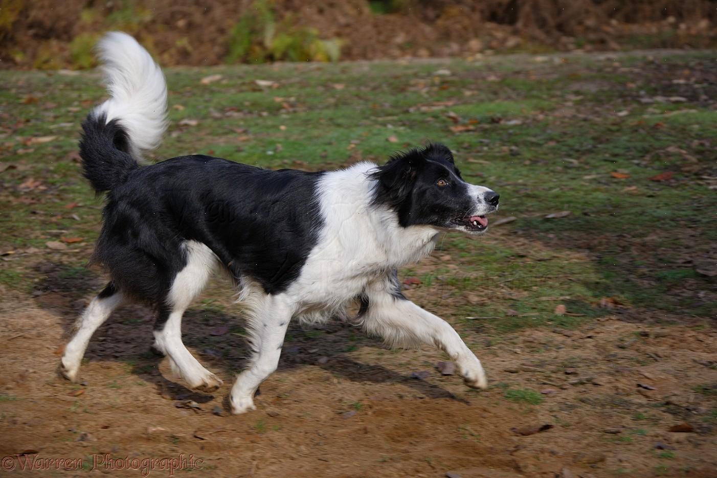 Dog Black And White Border Collie Running Photo Wp17642