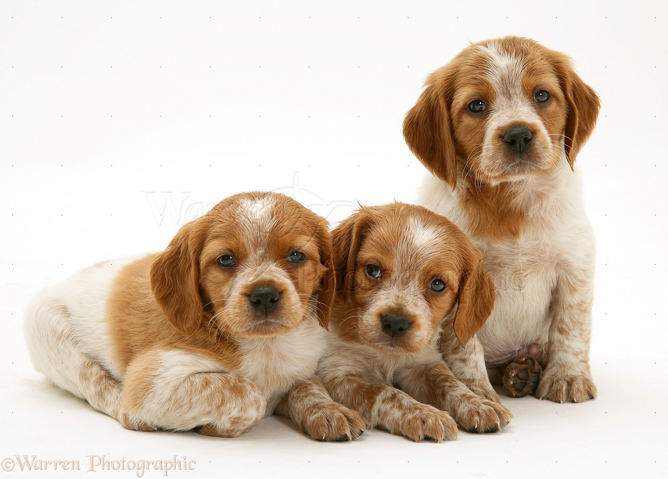 Brittany Spaniel Dogs For Sale