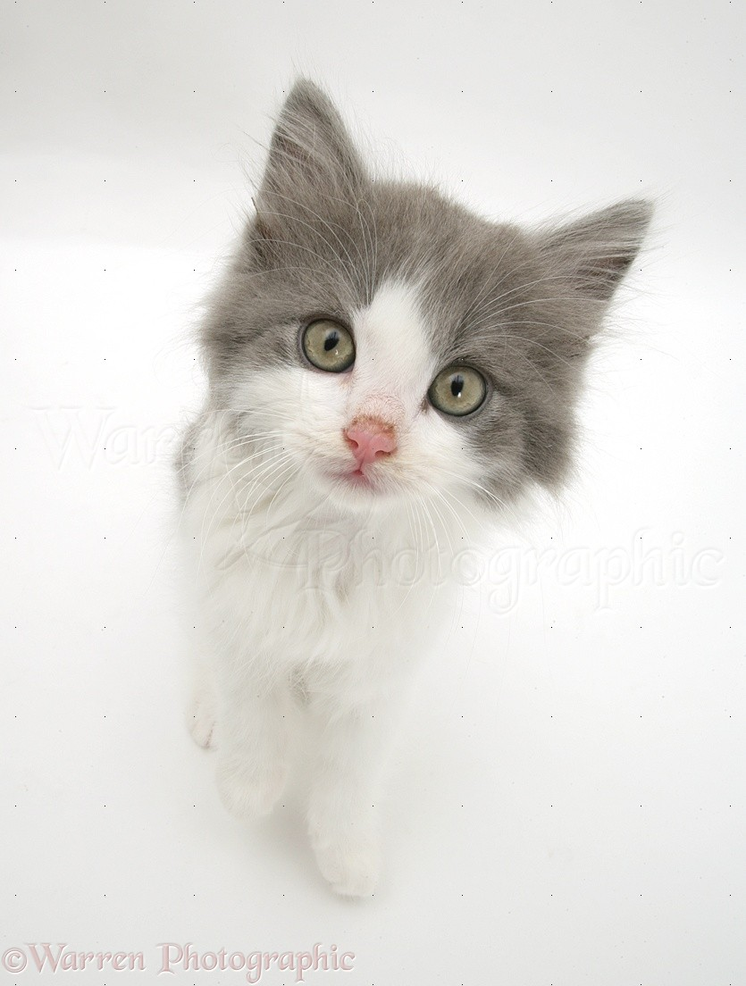 Grey-and-white Kitten Photo WP17691
