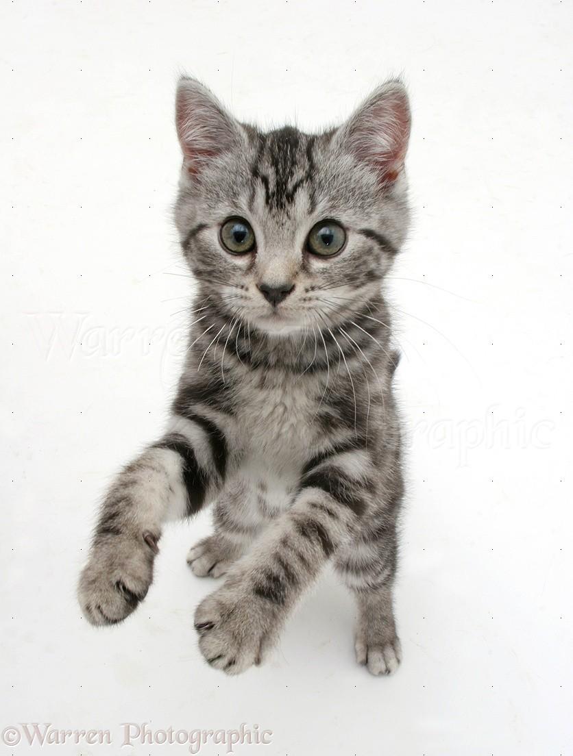 Silver Tabby Shorthair Kittens