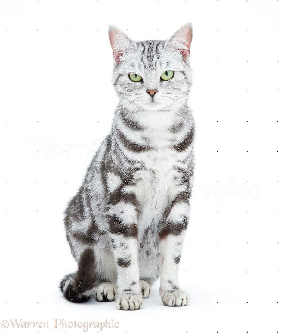 Silver Tabby Cat White Background